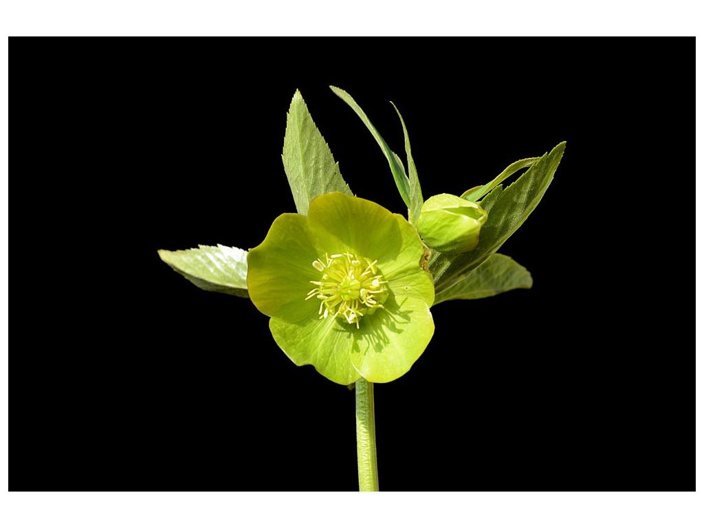 HELLEBORUS ODORUS subsp.CYCLOPHYLLUS AS55572