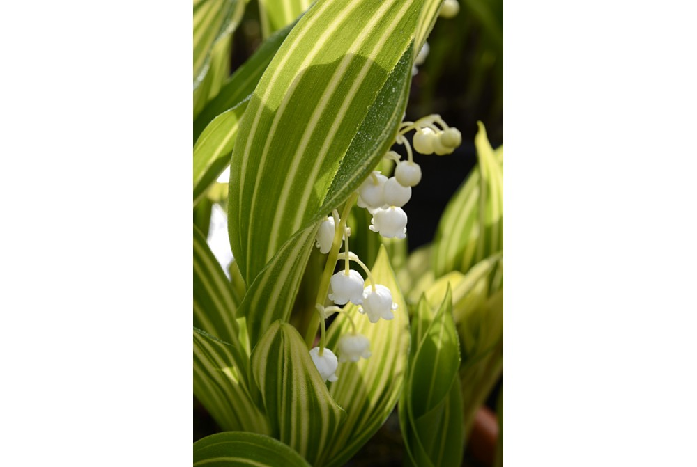 CONVALLARIA MAJALIS 'POLISH BEAUTY'