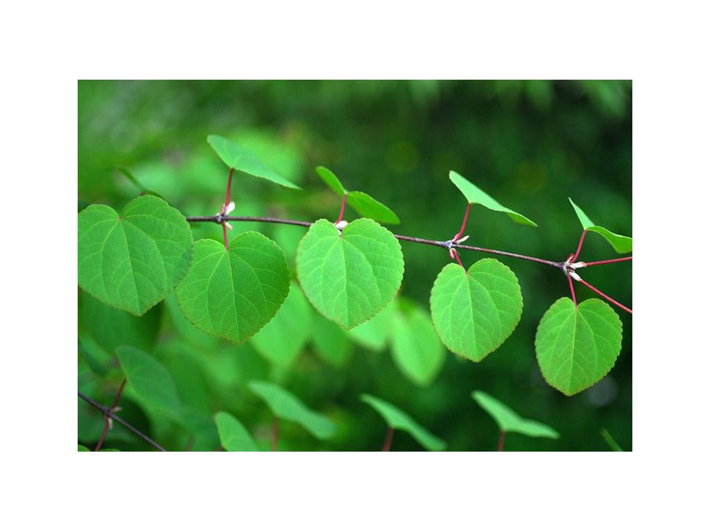 CERCIDIPHYLLUM JAPONICUM JP5353, l'arbre au caramel