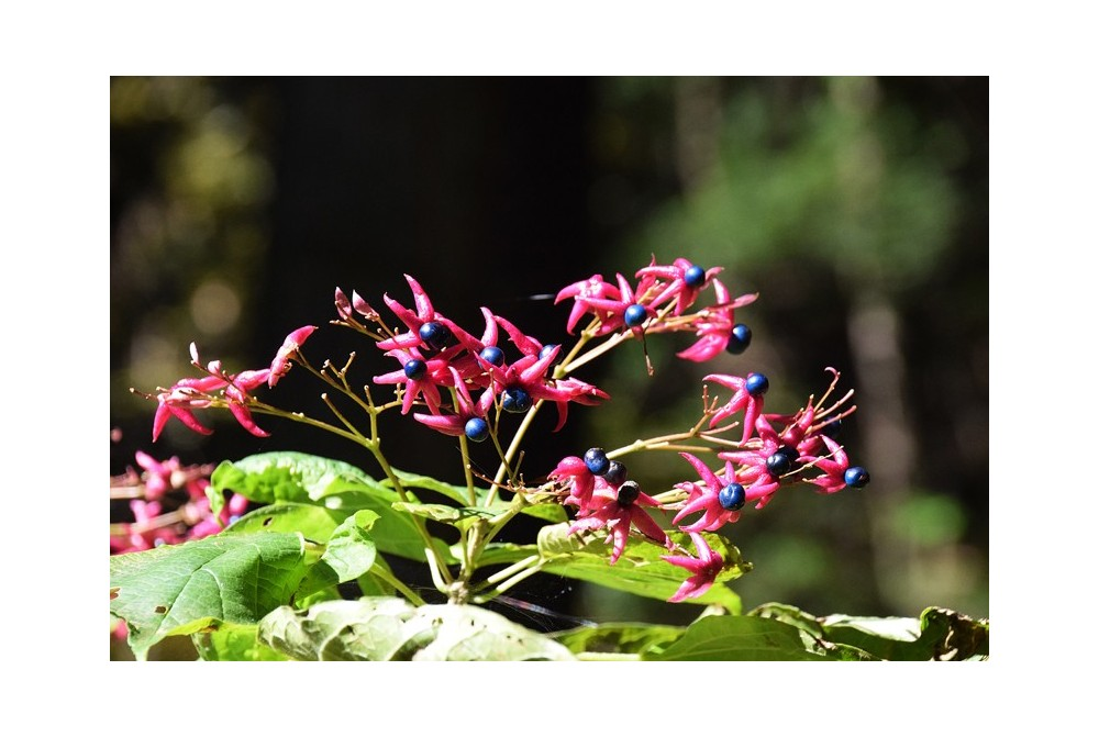 CLERODENDRON TRICHOTOMUM CMBJP2053