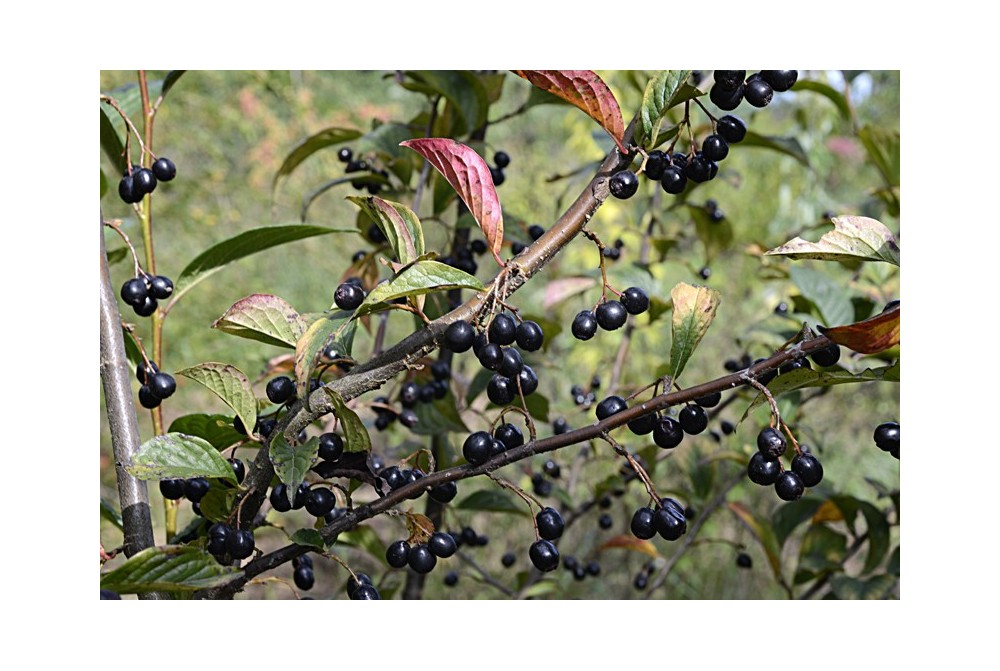 COTONEASTER HUMMELII CBCH577