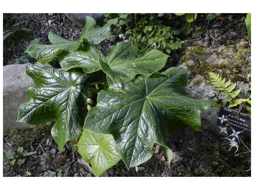 PODOPHYLLUM VERSIPELLE subsp.BOREALE