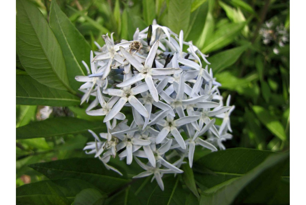 AMSONIA ANGUSTIFOLIA