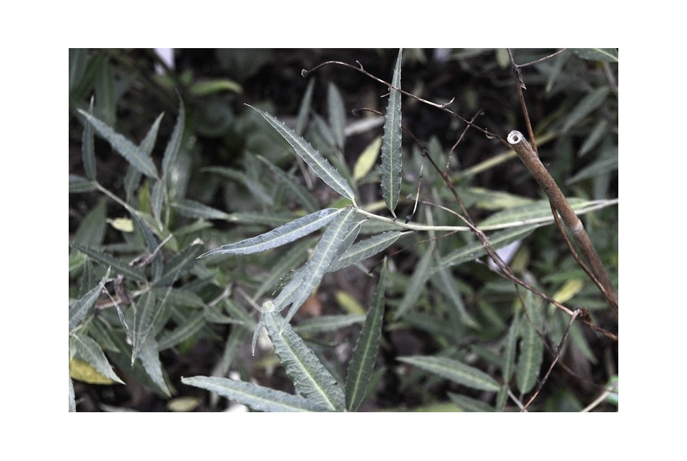 HELWINGIA CHINENSIS CBCH808