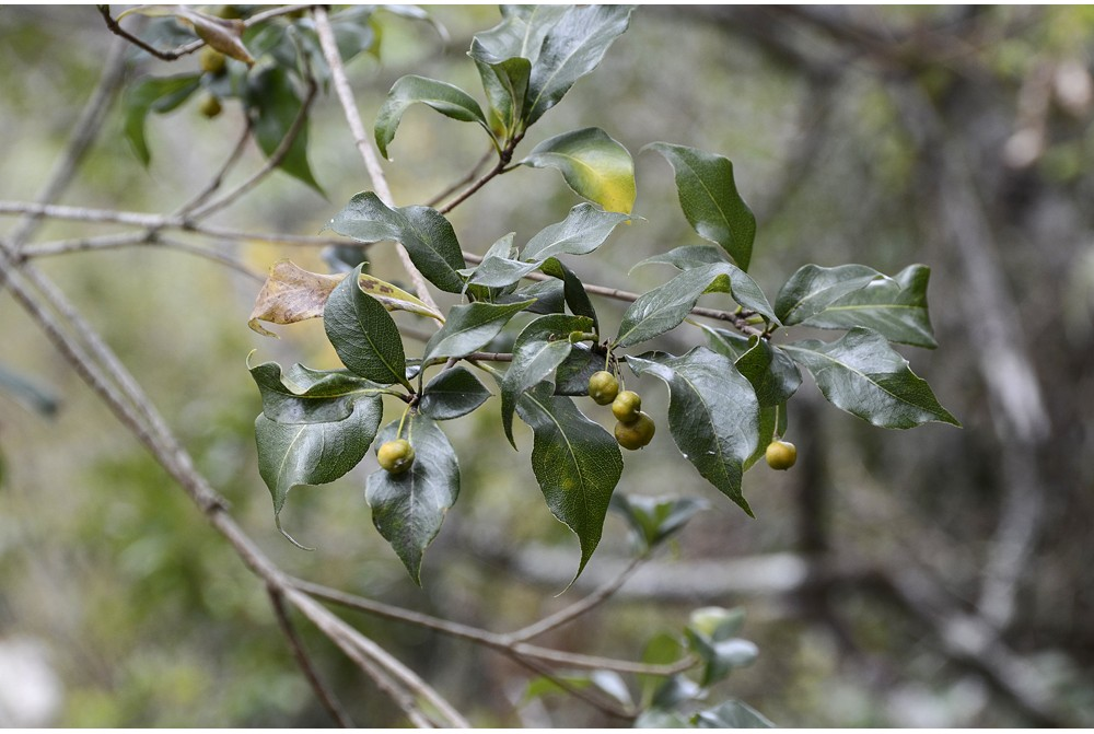 PITTOSPORUM CMBTW1618 & 1630