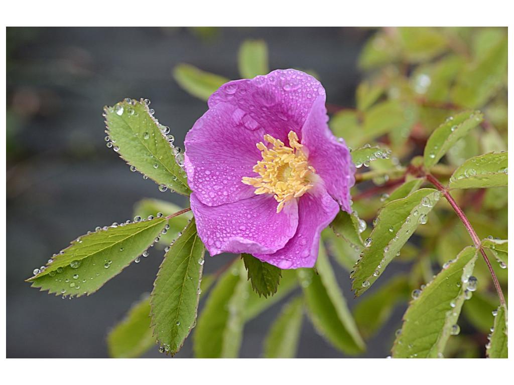 ROSA WOODSII subsp. ULTRAMONTANA CA4819