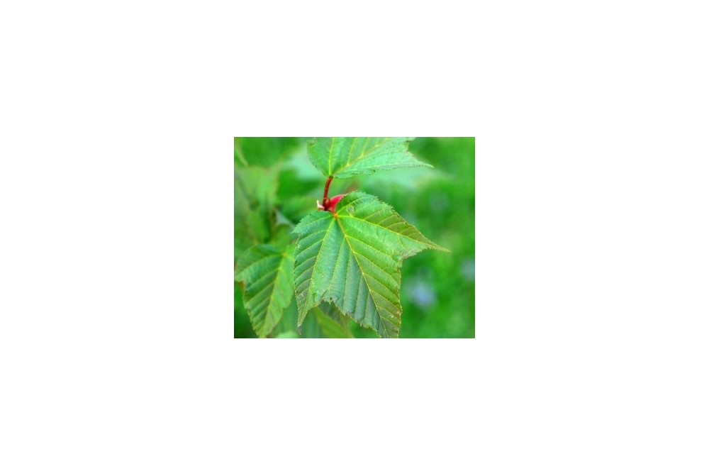 ACER CAPILLIPES JP3403