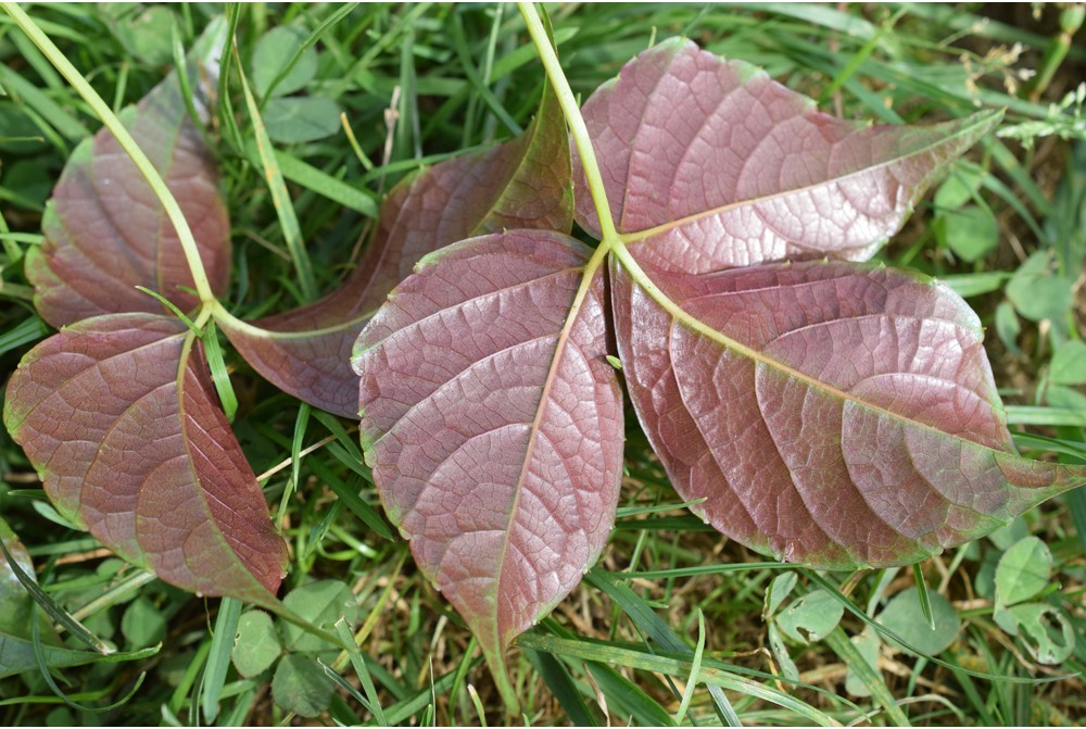 PARTHENOCISSUS SEMICORDATA CBCH044