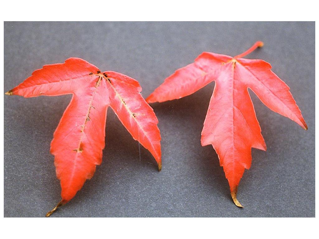 ACER BUERGERIANUM subsp.NINGPOENSE