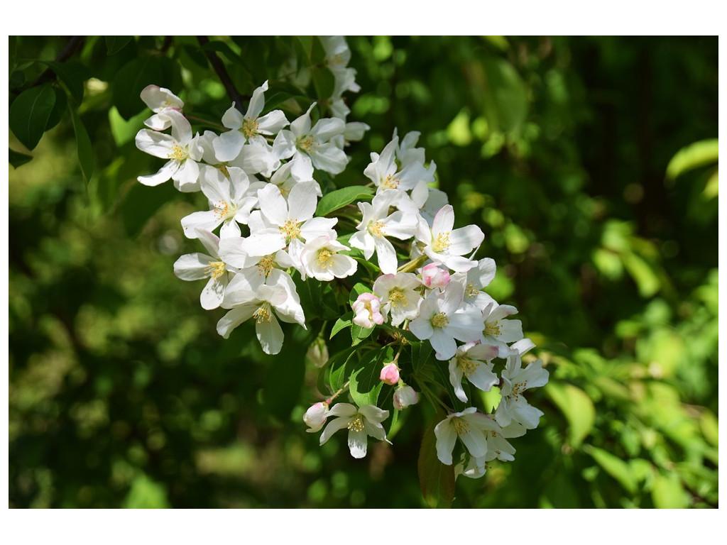 MALUS sp. Yunnan