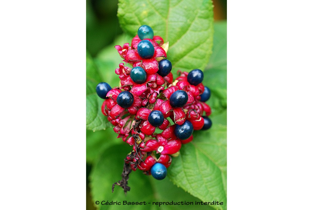 CLERODENDRON BUNGEI CBCH597