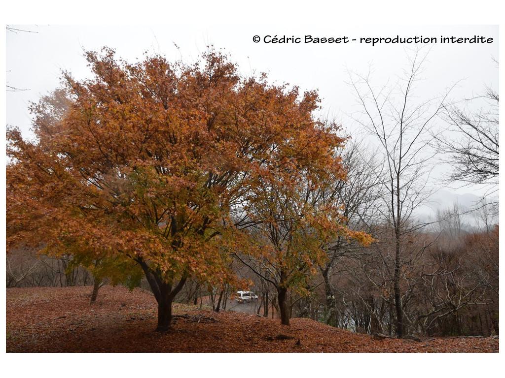 ACER PALMATUM CMBJP1896, l'érable du Japon