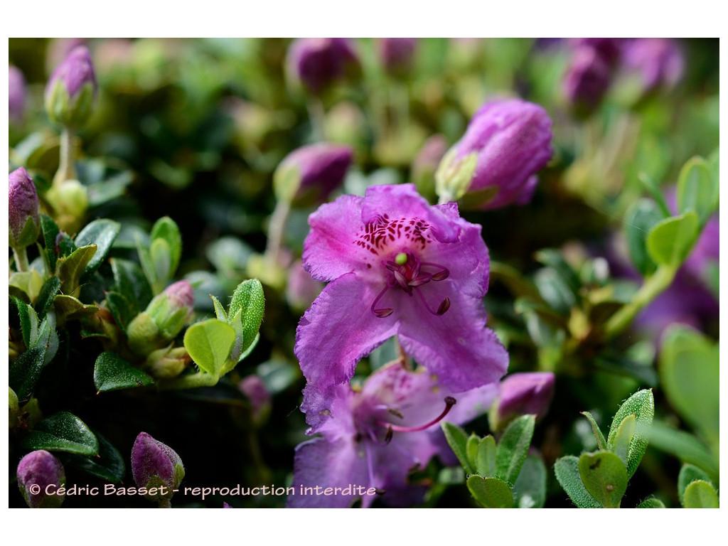 RHODODENDRON CALOSTROTUM subsp.HELETICUM