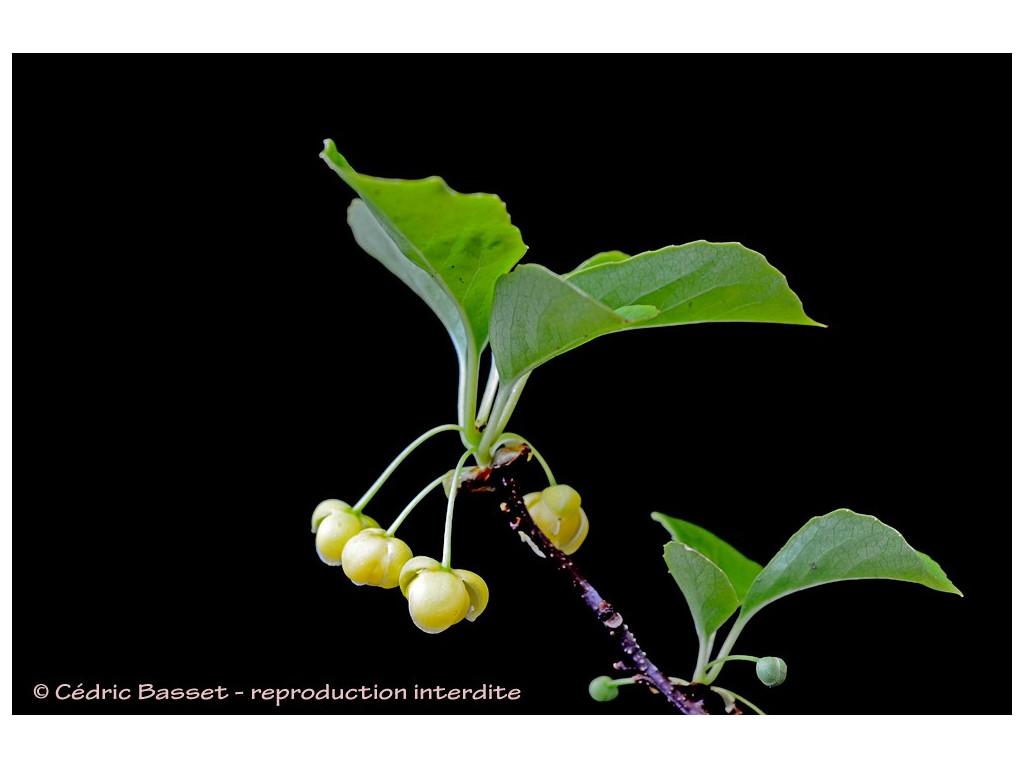 SCHISANDRA HENRYI subsp.YUNNANENSIS