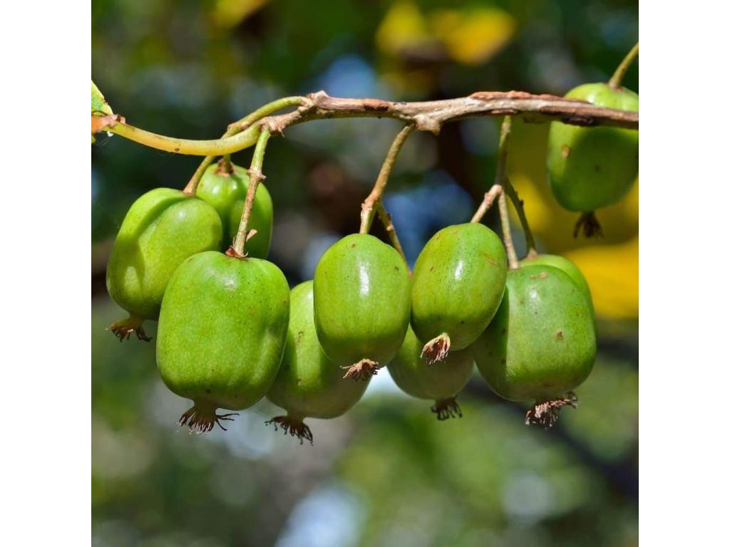 copy of ACTINIA ARGUTA plant femelle