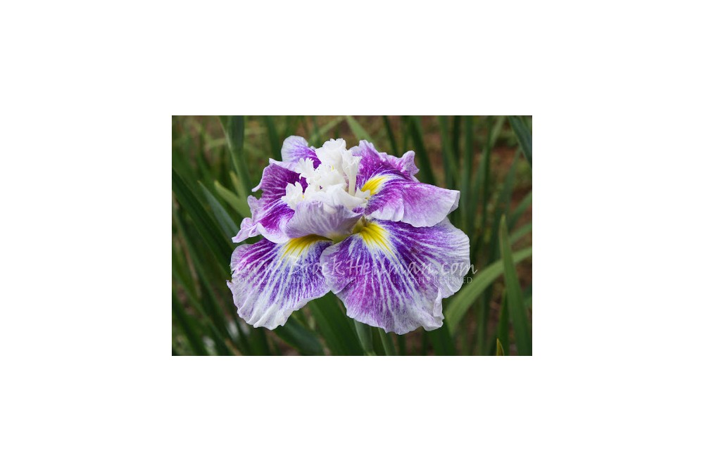 IRIS ENSATA 'ANGEL MOUNTAINS'