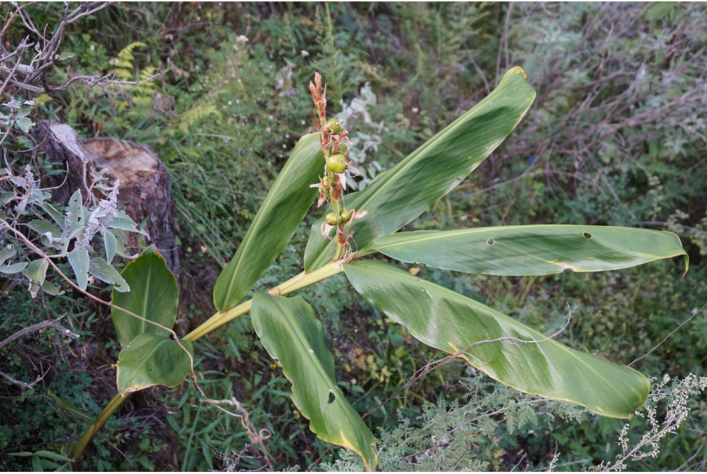 copy of HEDYCHIUM BO16-050