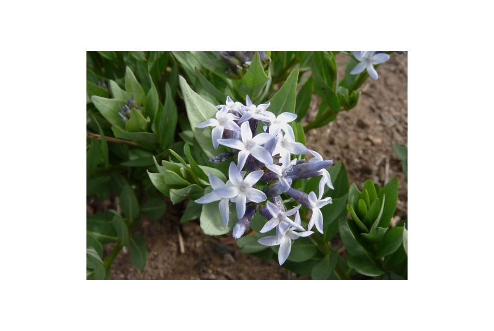 AMSONIA JONESII US5198