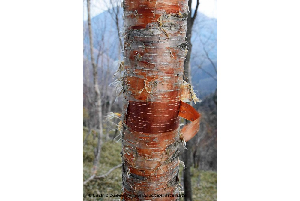 BETULA ERMANII 'MOUNT ZAO PURPLE'