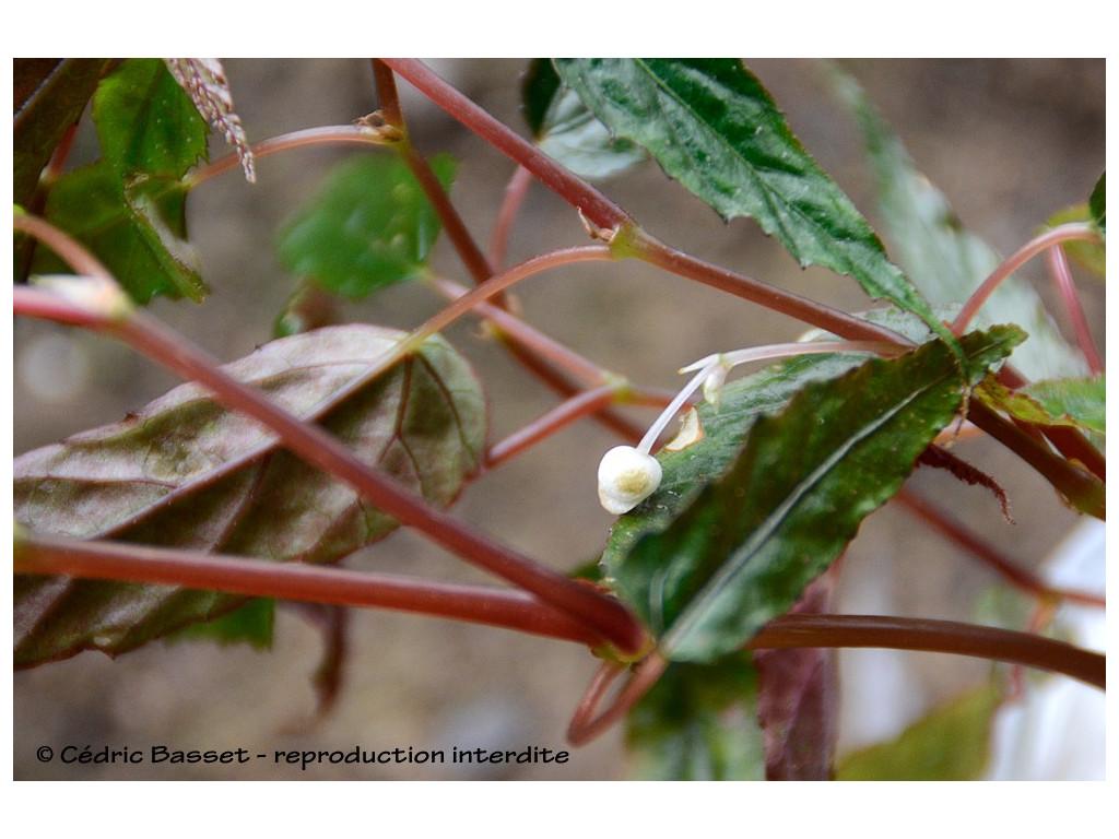 BEGONIA sp.1 Yunnan