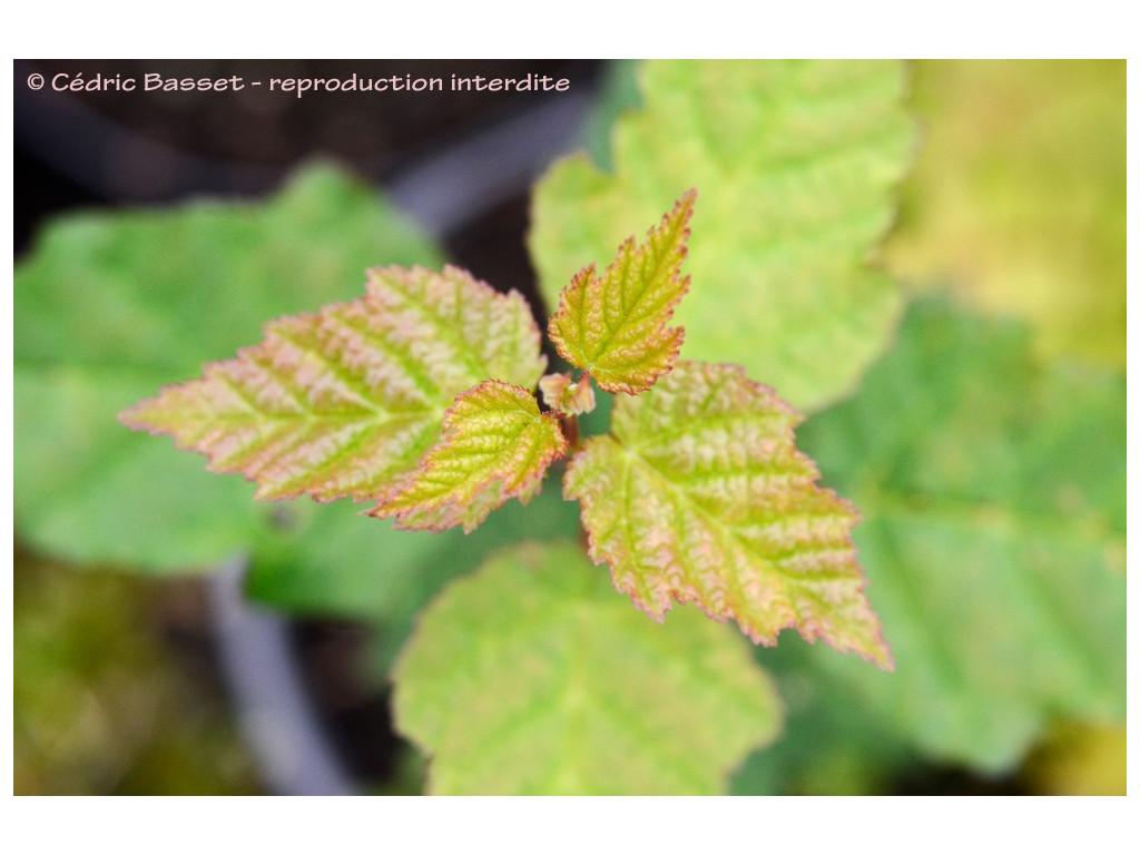 ACER TATARICUM subsp.THEIFERUM