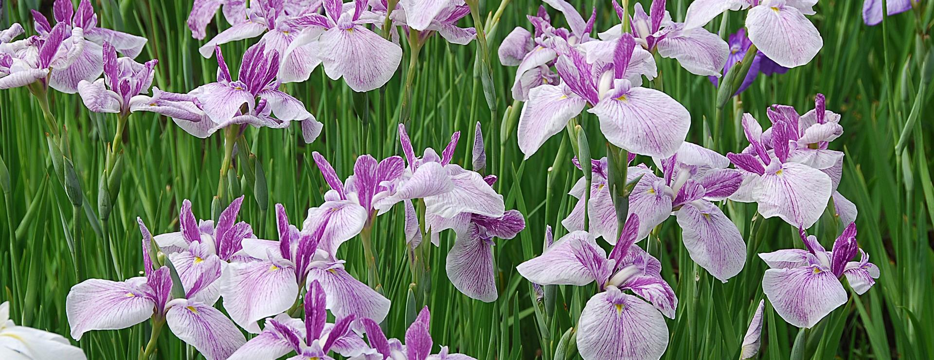 Iris du Japon